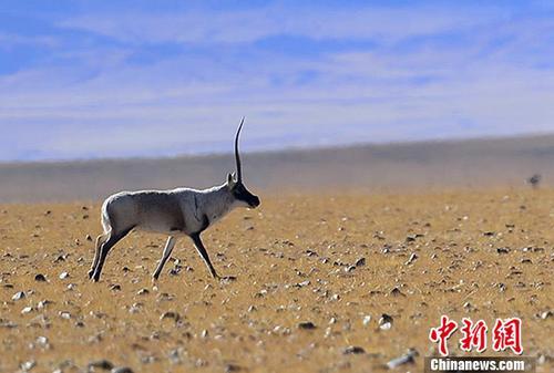 """被誉为""""高原精灵""""的藏羚羊,主要分布于中国以羌塘为中心的青藏高原地区,属于国家一级保护动物,交配季为每年12月份。图为雄性藏羚羊。 <a target='_blank' href='http://www.chinanews.com/'>中新社</a>记者 周文元 摄"""