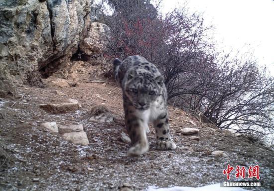 12月18日,记者从西藏丁青县政府获悉,该县今年与山水自然保护中心合作,开展以雪豹为旗舰物种的生态系统研究和保护工作。山水自然保护中心项目部主任赵翔表示,此前西藏对雪豹的监测研究主要在西部的那曲羌塘和日喀则珠峰两地,对于东部的研究还是空白。从今年11月1日开始,当地16名牧民监测队员在100多平方公里的范围布设了20台红外相机,共捕捉到26次雪豹的活动影像。图为监测到的雪豹影像。(山水自然保护中心供图)