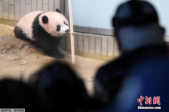 """资料图:旅日大熊猫""""香香""""。"""