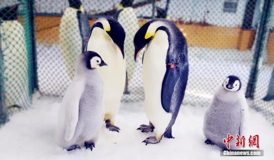 """资料图:帝企鹅宝中国首只帝企鹅宝宝后,老虎滩帝企鹅家族队伍又增添两位新成员。 图为孵化期间,极地馆中山站企鹅繁育中心为帝企鹅夫妇准备了""""育儿产房""""。杨毅/文 罗阳/图"""