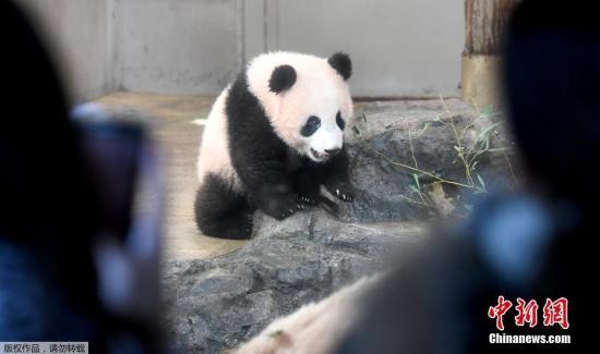 动物园面向公众开放参观熊猫采取了提前抽签制,每天有400组名额。各方的申请蜂拥而至,最火热的时候中签率仅有约144分之1。这是上野动物园首次在参观方面采用抽签制。