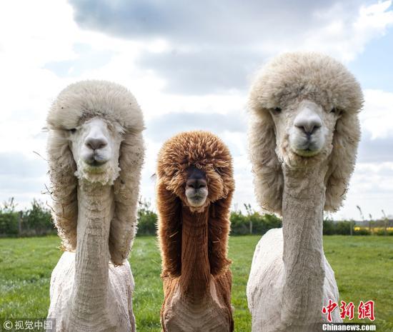 被饲养的羊驼。(图片来源:视觉中国)
