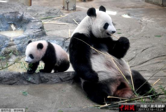 """当地时间2017年12月19日,日本东京,雌性大熊猫""""香香""""在上野动物园首次正式与公众见面,受到日本民众热捧。图为""""香香""""(左)与母亲""""真真""""与观众见面。"""