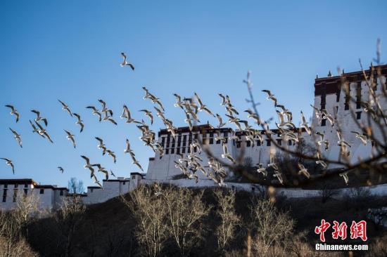 资料图:一群候鸟飞过位于布达拉宫脚下的宗角禄康公园。 <a target='_blank' href='http://www.chinanews.com/'>中新社</a>记者 何蓬磊 摄