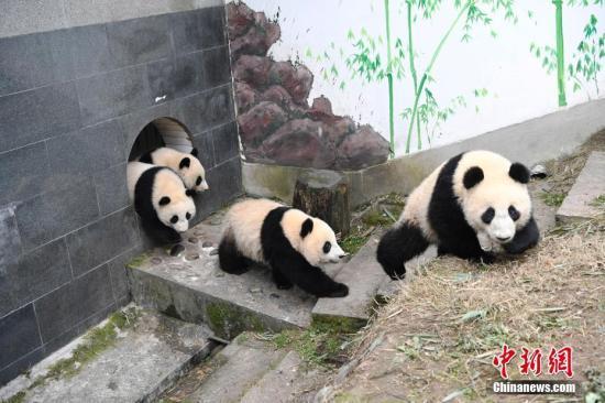 Mining company accused of damaging panda habitat
