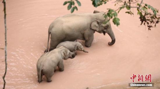 资料图:几只野象过河。(图片来源:西双版纳森林公安供图)