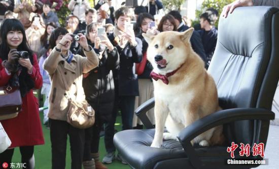 """资料图:日本网红柴犬Maru出席""""见面会"""",引民众围观。图片来源:东方IC 版权作品 请勿转载"""