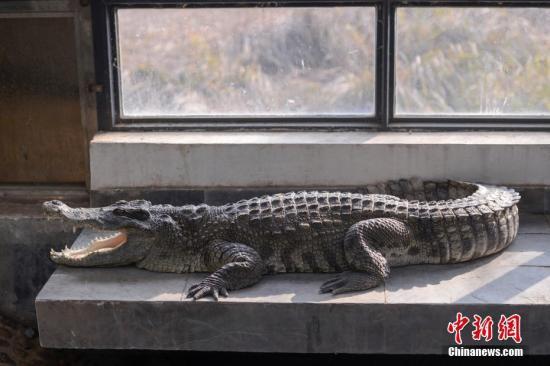 资料图:鳄鱼。杨华峰 摄