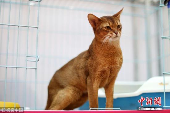 """2018年1月9日上午,济南一商场举办名猫展览。约30只来自全国各地的名猫供""""吸猫""""爱好者们观赏,总价值近120万元人民币。其中最贵的一只阿比西尼亚猫身价高达20万元。图为身价20万元的阿比西尼亚猫。 时陌 摄 图片来源:视觉中国"""