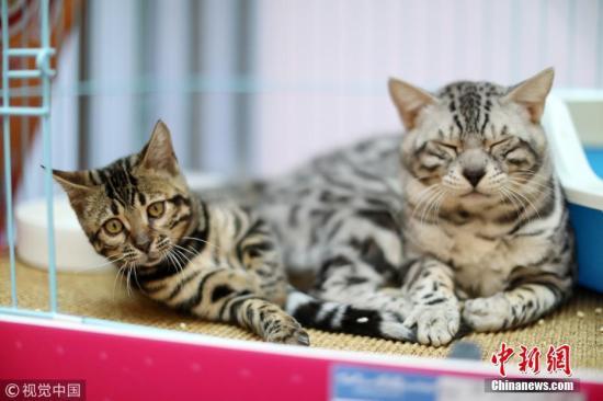 资料图:两只正在休息的宠物猫。 时陌 摄 图片来源:视觉中国
