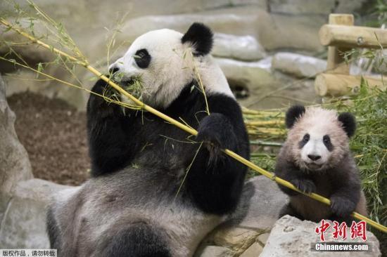 自2017年圣诞节以来,福妮出现了一些通常是熊猫怀孕或假怀孕期间的行为。动物园的资深熊猫护理员傅蒂(Jamimee Foote)说,福妮是真怀孕还是假怀孕,我们将拭目以待。   傅蒂说:福妮已经度过了大量吃竹子来增加体重的阶段。从那以后,它的胃口开始下降,需要更多的睡眠。往年的这个时期,它会变得对声音十分敏感。但是今年,它似乎更容易快乐和满足,我们期待好事将近。   这段时间,福妮经常待在它的房间里,并开始了筑巢。生育专家正在分析福妮的尿液样本,并准备请中国熊猫繁殖专家赴阿德雷德指导。   现在