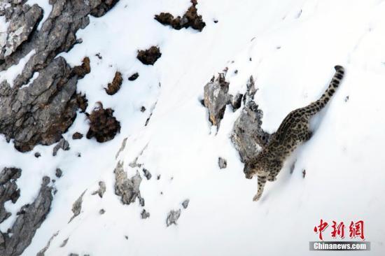 资料图:雪豹。 山水自然保护中心 供图