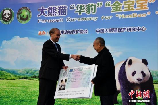 """1月17日,大熊猫""""华豹""""""""金宝宝""""从中国大熊猫保护研究中心都江堰青城山基地出发,启程前往芬兰开展为期15年的科研合作,这是中国大熊猫首次旅居芬兰,两只大熊猫预计于当地时间18日上午10点到达芬兰首都赫尔辛基。据介绍,两只大熊猫都出生于中国大熊猫保护研究中心雅安碧峰峡基地,一雄一雌,承担着在芬兰""""开枝散叶""""的使命。其中大熊猫""""华豹""""为雄性,2013年7月10日出生,目前体重110公斤。大熊猫""""金宝宝""""为雌性,2014年9月20日出生,目前体重105公斤。图为芬兰驻华大使肃海岚颁发大熊猫""""华豹""""""""金宝宝""""赴芬兰""""签证""""。 张浪 摄"""