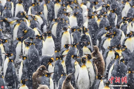 1月17日报道(具体拍摄时间不详),玩过《智力拼图》,但你见过究极版吗?摄影师Paul Goldstein就用一大群企鹅玩了一次现实版的《智力拼图》!Paul是旅行杂志The Exodus Travels的导游,他在南极南乔治亚岛旅行时邂逅一只企鹅大军,这些家伙在风雪天抱团取暖,身披棕色绒毛的幼崽被成年企鹅层层包围,在飘扬的大雪下组成一幅奇特的画面,宛若精心设计出的智力拼图,看得人眼花缭乱。图片来源:东方IC 版权作品 请勿转载