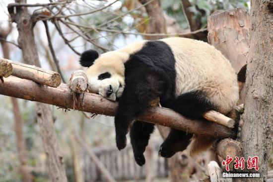 资料图:一只大熊猫。(<a target='_blank' href='http://www.chinanews.com/'>中新社</a>记者 安源 摄)