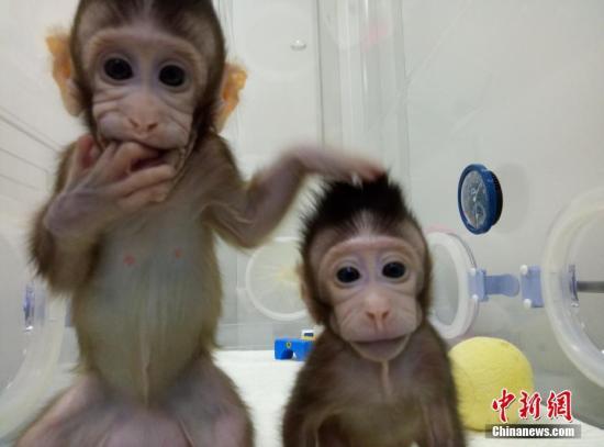 """科学家们在2000年成功克隆灵长类动物。当时,美国俄勒冈地区灵长类动物研究中心的科学家将107个猴胚胎分裂成368个猴胚胎,名为""""Tetra""""的克隆猴在胚胎分裂157天后幸运降生。不过,中国科学院神经科学研究所研究员孙强率领的团队攻克的是体细胞克隆世界难题。这种克隆方法与知名的克隆羊""""多莉""""的克隆方法类似。 图片来源:中科院神经所供图"""