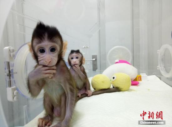 """孙强说,在""""多莉""""诞生以后,马、牛、兔、猫、狗、骆驼等哺乳类动物的体细胞克隆相继成功,但与人类相近的灵长类动物的体细胞克隆一直未被攻克。体细胞克隆猴的重要性在于,能够在一年内产生大批遗传背景相同、可以模拟人类疾病的模型猴。 图片来源:中科院神经所供图"""
