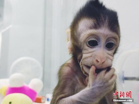 资料图:中国科学家成功培育全球首个体细胞克隆猴。 图片来源:中科院神经所供图