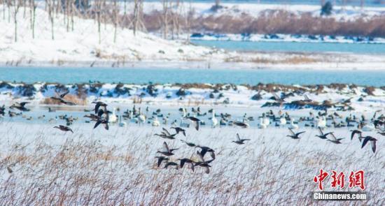 """1月28日,记者从洪泽湖湿地了解到,工作人员在对景区白鹭湖的雁鸭类越冬地巡察中,发现洪泽湖鸟类新""""成员""""――斑头秋沙鸭。至此,洪泽湖湿地第200种鸟类记录诞生。当天,在江苏省泗洪洪泽湖湿地保护区内,湖边的芦苇地被大雪覆盖,上千苍鹭、雁鸭、小天鹅等越冬候鸟在雪中飞舞,场面壮观美丽。 黄元国 摄"""