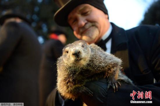 当地时间2月2日,美国宾州旁苏托尼迎来一年一度的土拨鼠日。