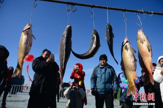"""2月2日,即将拍卖的头鱼。当日,""""亮丽黄河湾 多彩达拉特--2018达拉特旗冬季乡村旅游文化节""""在内蒙古鄂尔多斯举行。据了解,此次捕得的鱼主要为鲤鱼,其中头鱼重约18斤,由鄂尔多斯一企业以4.8万元人民币竞拍成交。<a target='_blank' href='http://www-chinanews-com.nbhua.net/'>中新社</a>记者 刘文华 摄"""