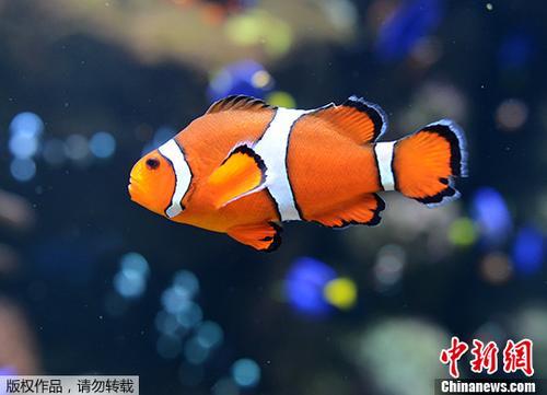 地球暖化加剧 科学家:可爱小丑鱼恐在海洋中消散