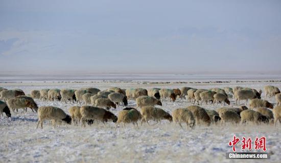 资料图:牧民养殖的羊群。王福生 摄