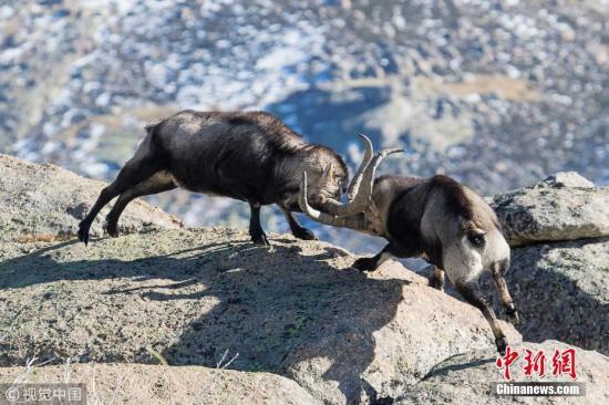 在西班牙卡斯蒂利亚-莱昂的一处悬崖上,一对雄性野生山羊进行决斗,它们用强有力的角作为武器。 图片来源:视觉中国