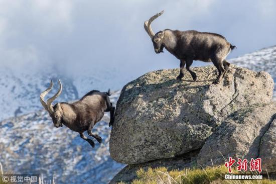 最终一只山羊跳下悬崖,这场惊心动魄的战斗才算结束。 图片来源:视觉中国