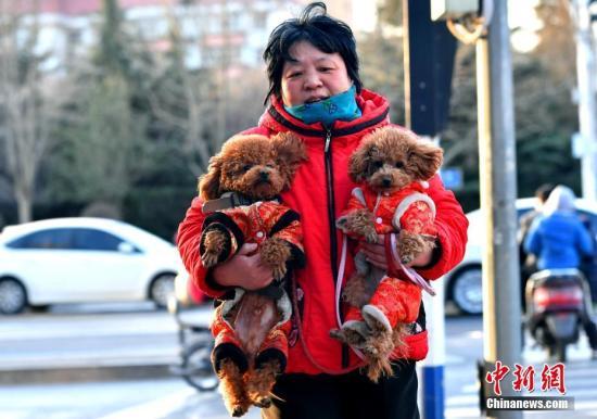 """资料图;河北石家庄一市民为两只爱犬穿上了喜庆的""""红棉袄""""出行。中新社记者 翟羽佳 摄"""