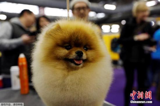 资料图:美国纽约,第142届威斯敏斯特犬展举行,狗狗拼造型比颜值。