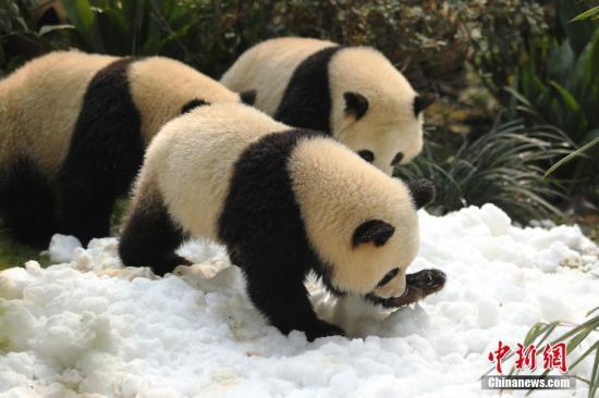 Pandas play in snow at the Chengdu Research Base of Giant Panda Breeding, Feb. 14, 2018. (Photo/China News Service)
