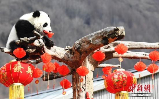 大熊猫宝宝在玩耍。安源 摄