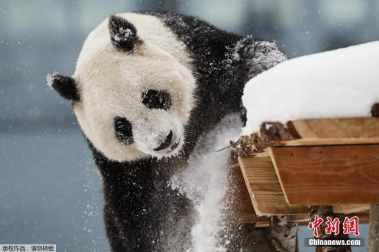 当地时间2018年2月17日,芬兰艾赫泰里动物园(Ahtari zoo)自然保护区对外开放,雌性大熊猫卢米在雪中玩耍。