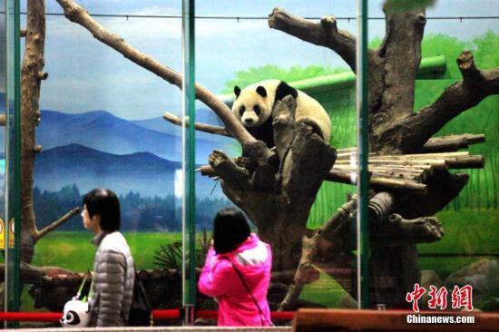"""2月20日是台湾春节六天连假的最后一天,台北市立动物园大熊猫馆内人潮挤爆。当天,由4岁半的大熊猫""""圆仔""""轮值出场,其慵懒的萌态迷倒大批民众。其父母、大陆赠台大熊猫""""团团""""和""""圆圆""""则进行例行检查。据悉,除休园日外,台北动物园春节期间每天都有数万人入园参观。 黄少华 摄"""