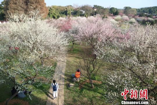 资料图:武汉东湖梅园大片梅花迎春绚烂绽放 张念 摄
