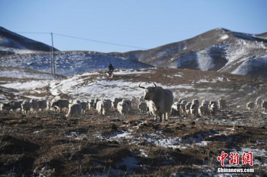 在海拔2800多米的甘肃天祝藏族自治县松山镇黑马圈河村,牧民卓玛才旦和儿子赶着他家的百余头白牦牛在冬春草场上放牧。卓玛才旦和儿子两代人经过30多年的努力,已经建立了自家100多头白牦牛核心种群。天祝白牦牛是海拔3000米以上高寒草原上的特有畜种,是中国稀有珍贵的遗传资源,被农业部列入国家级畜禽遗传资源保护名录。 天祝县经过多年的努力,白牦牛核心群组建已初见成效。目前,当地已建立起6个白牦牛保护区,白牦牛核心群已达20群1000头,扩繁群100群6800头。中新社记者 杨艳敏 摄