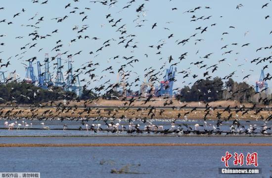 当地时间2018年3月3日,西班牙瓦伦西亚的一个自然公园内,大群火烈鸟集体寻找食物,场面十分壮观。