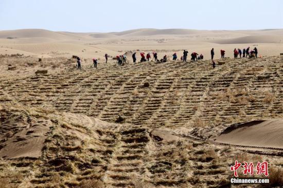 """3月7日,甘肃临泽县民众在该县北部荒漠区压设麦草沙障,开展""""治沙播绿、改善生态""""的防沙治沙""""接力赛""""。多年来,该县通过生物治沙、工程治沙相结合的方式,持续防沙治沙,筑牢生态安全屏障。张渊 摄"""
