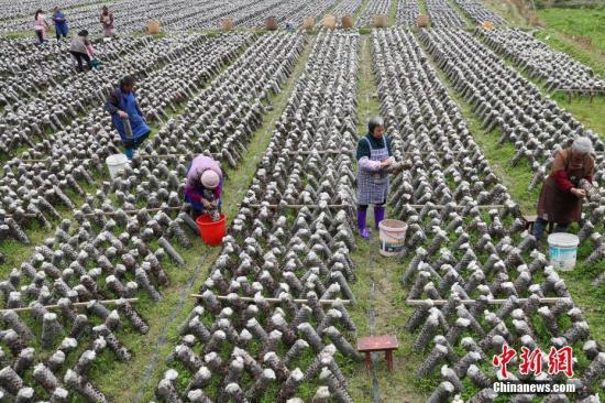 """3月12日,农户在田间采摘木耳。近年来,贵州省印江土家族苗族自治县以""""政府引导、企业主体、农户参与""""的模式,结合市场需求,发展食用菌产业。目前,该县累计建成食用菌基地15个,建成育菌棚、生产大棚3200余个(占地76.8万平方米),2017年,种植食用菌8800万棒,实现产量约6.6万吨,产值5.28亿元;带动6000余户群众22000余人(其中贫困户3000余户,10000余人)发展食用菌种植,实现当年带动的贫困人口人均增收3500元以上,确保当年参与贫困户精准脱贫。食用菌主要销往重庆、浙江、上海、广东、福建等地,干菇通过电商和代理商销往全国各地。<a target='_blank' href='http://www-chinanews-com.kivi-tv.com/'>中新社</a>记者 贺俊怡 摄"""