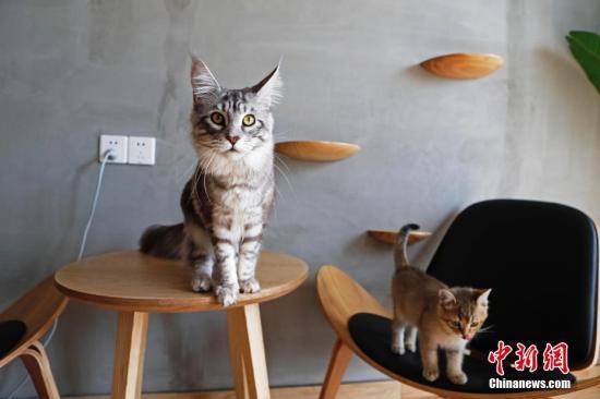 资料图:宠物猫。 殷立勤 摄