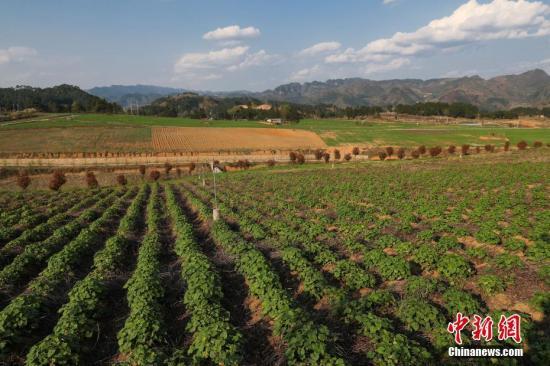 """3月14日,夕阳下的丹寨县兴仁镇中药材种植基地。贵州省丹寨县通过""""公司+基地+合作社""""的""""连锁种植模式"""",依托现代农业生产管理方式,推进中药材培育种植标准化、清洁化生产,发展贵州特色中药材培育和种植。截至目前,带动丹寨县114个村,124个合作社,近千名农民发展白芨、太子参、仙草等中药材种植,2017年,农户人均增收约5000元,现代中药材种植已成为贵州省丹寨县农村精准脱贫的""""新路子""""。中新社记者 贺俊怡 摄"""
