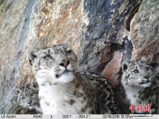 3月16日,三江源国家公园澜沧江源园区管委会与山水自然保护中心联合发布一组最新在澜沧江源区域由红外相机拍摄到的雪豹影像。据了解,目前澜沧江源雪豹密集区监测已实现全覆盖,红外相机三个月记录近300次雪豹影像。山水自然保护中心 供图