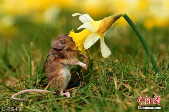 资料图:一只小老鼠。(图片来源:视觉中国)