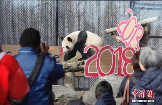 """当地时间3月18日,不少民众赶至多伦多动物园,为中国租借给加拿大的4只大熊猫送行。大熊猫们即将从加国第一大城市多伦多迁居至石油城卡尔加里,当日是它们在多伦多与公众见面的最后一天。大熊猫""""大毛""""和""""二顺""""于2013年3月25日来到加拿大。按照中加双方的协议,它们要在多伦多和卡尔加里各居住5年。2015年10月,接受了人工授精的""""二顺""""在多伦多产下双胞胎""""加盼盼""""、""""加悦悦""""。<a target='_blank' href="""