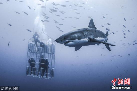 资料图:鲨鱼。 图片来源:视觉中国