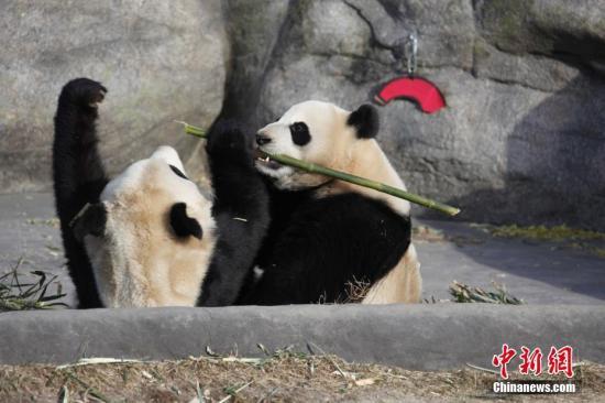 """资料图:当地时间3月18日,两只大熊猫双胞胎""""加盼盼""""、""""加悦悦""""在多伦多动物园内打闹争食。 <a target='_blank' href='http://www.chinanews.com/'>中新社</a>记者 余瑞冬 摄"""