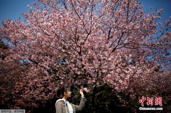 樱花季来临 专家预计60万中国游客将赴日赏樱旅游