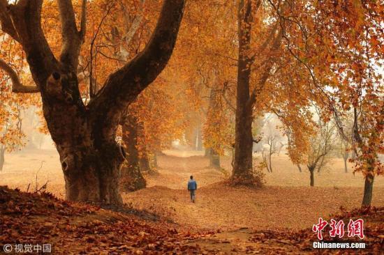 当地时间2016年11月11日,克什米尔斯利那加,一个男孩从落满树叶的路上走过。图片来源:视觉中国