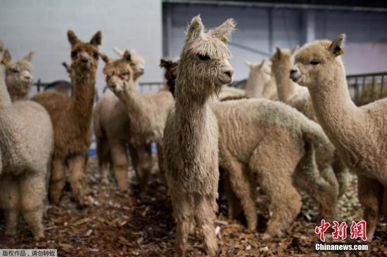 青藏高原繁育成活三只南美洲羊驼